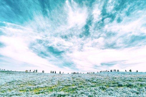 Цветущие немофилы в Приморском парке Hitachi в Японии (11 фото)