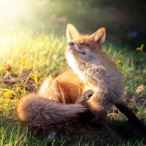 Дикие лисицы через объектив фотографа Осси Сааринена (26 фото)