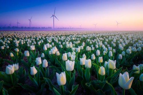 Тюльпановые поля Голландии в фотографиях Альберта Дроса (24 фото)
