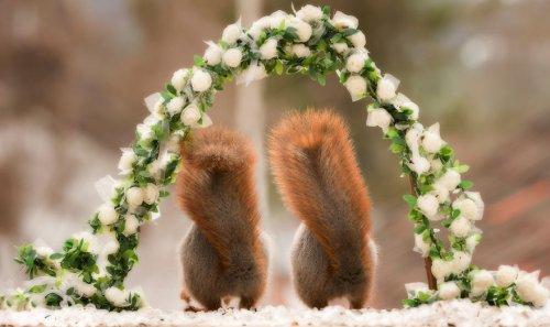"""Очаровательные кадры со """"свадьбы"""" диких белочек, которые скрасят ваш день (9 фото)"""