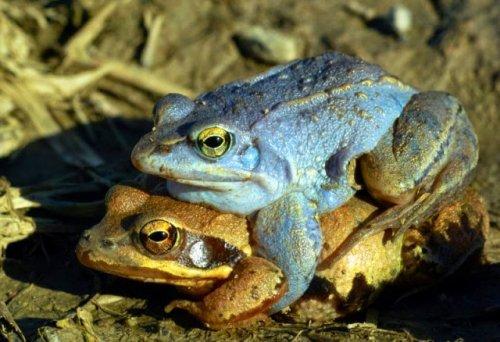 Лягушка, которая раз в год становится синей (10 фото)