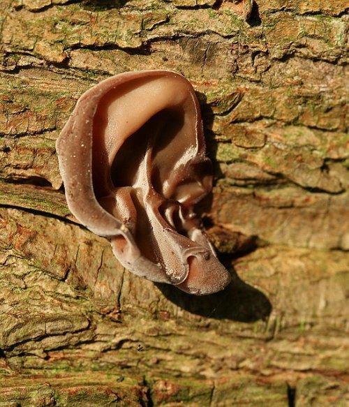 Иудино ухо в природе (13 фото)