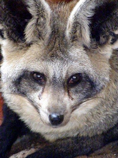 Большеухая лисица - охотник за насекомыми (17 фото)