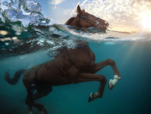 Копыта в воде: плавающие свиньи, ныряющие лошади и многие другие милейшие создания (30 фото)