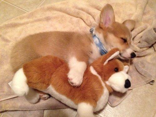 Фотографии с прелестными корги, после просмотра которых вы захотите завести себе собаку этой породы (31 фото)