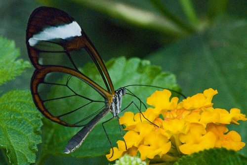 Невероятная стеклянная бабочка (22 фото)