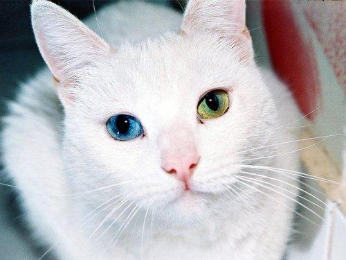 Гетерохромия – нарушение пигментации глаз (33 фото)