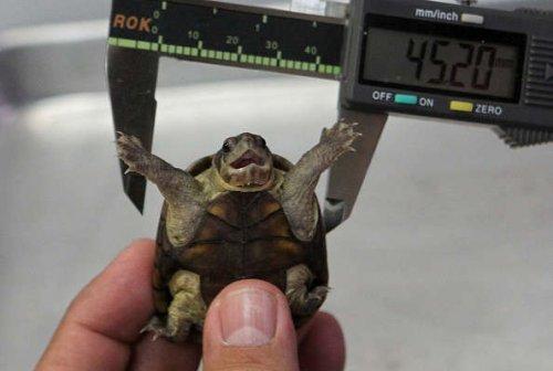 Ученые открыли новый и самый крошечный вид черепах в мире (2 фото)