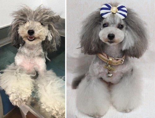 Преображение собак после посещения японского грумера Ёрико Хаматиё (10 фото)