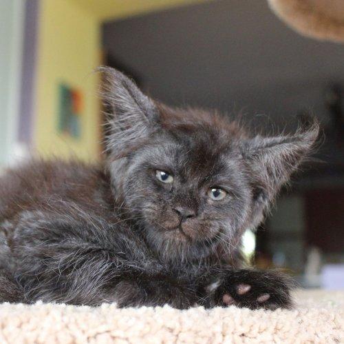 Кошка Валькирия с человеческим лицом (8 фото)