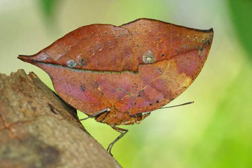 Царица камуфляжа: бабочка-листовидка (13 фото)