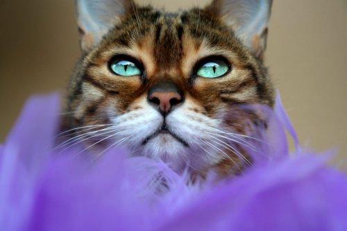 Молли-чан: бенгальская кошка с потрясающими глазами (12 фото)