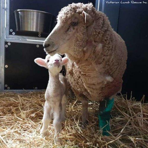 Мать-овца отбила у напавших бродячих собак свою малышку (6 фото)