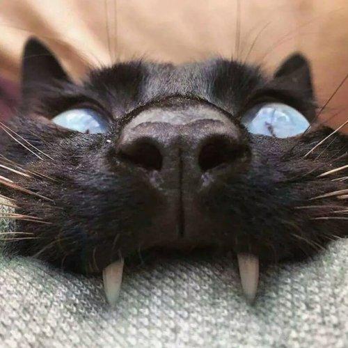 Кошки, которые почему-то вызывают мысли о вампирах (17 фото)