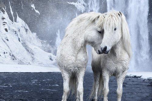 1532679152_islandskie-loshadi-2.jpg