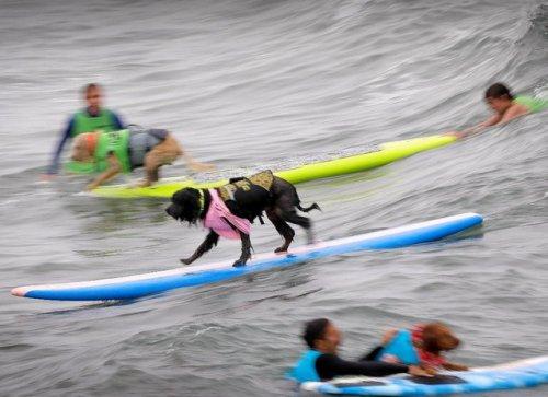 В Сан-Диего прошли соревнования по сёрфингу среди собак (12 фото)