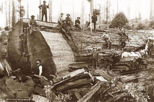 Фотоэкскурс в прошлое: дровосеки начала XX-го века на фоне спиленных гигантов (19 фото)