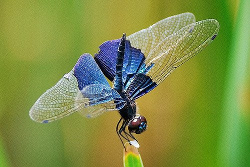 Восхитительные стрекозы с близкого расстояния (33 фото)