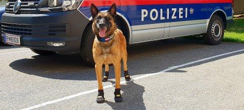 Полицейские собаки в Европе носят специальную обувь из-за жары