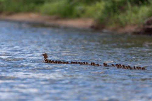 Мама-утка и её необыкновенный выводок из 76 утят (6 фото + видео)
