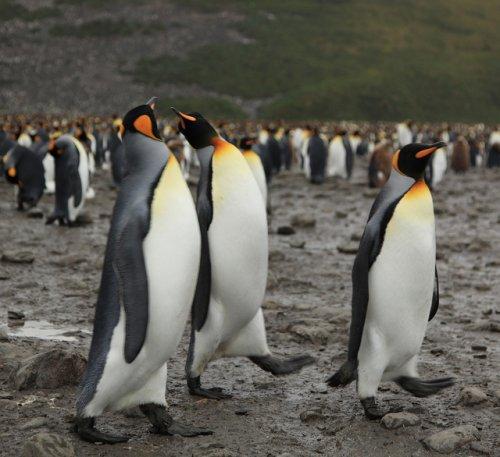 Ясли Королевских пингвинов – самый большой детский сад на планете (20 фото)