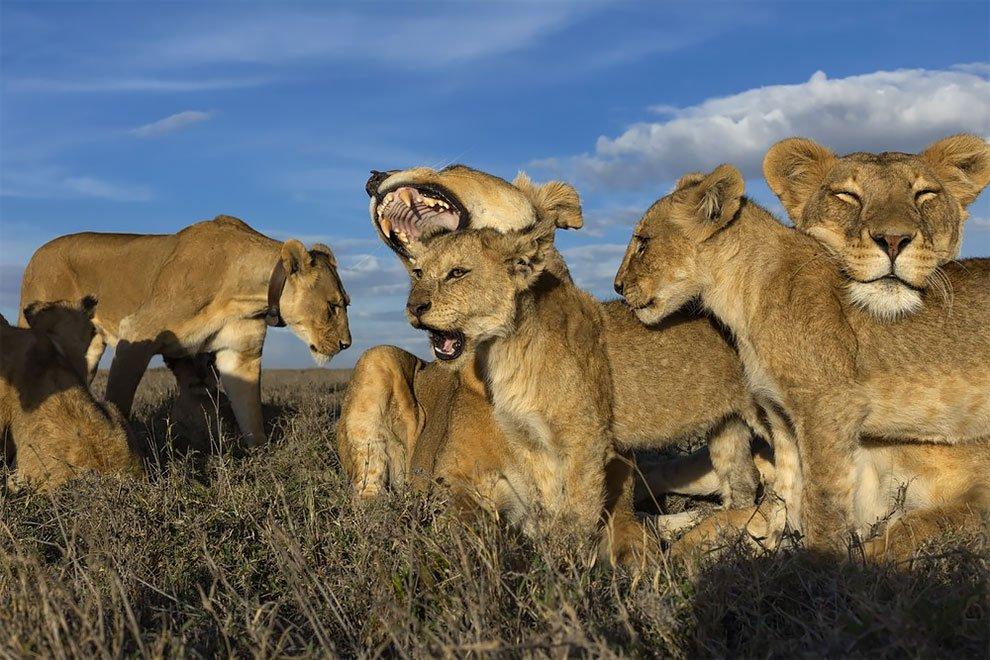 жизнь львов в дикой природе видео - 14