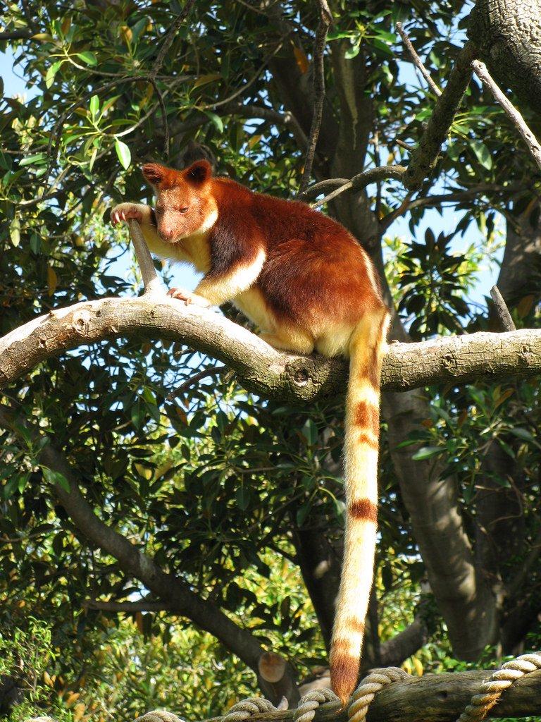 Кенгуру, вернувшиеся на деревья (20 фото)