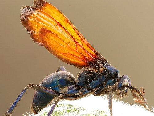 Оса тарантуловый ястреб - безжалостный хищник из мира насекомых (21 фото)