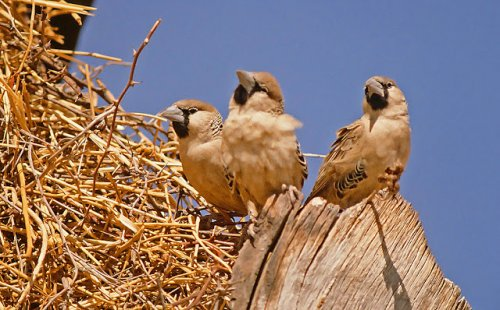Эффектные гнезда обыкновенных общественных ткачей (26 фото)