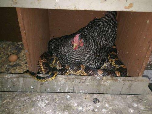 Женщина с удивлением обнаружила змею, свернувшуюся калачиком под курицей (4 фото)