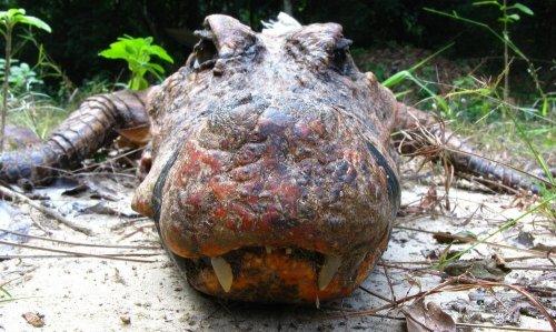 Пещерные крокодилы Габона (4 фото)
