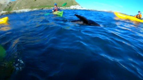 Тюлень швырнул осьминога в лицо ничего не подозревающему каякеру