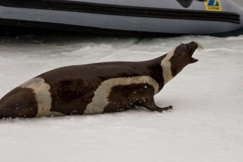 Крылатка: тюлень с полосками (12 фото)