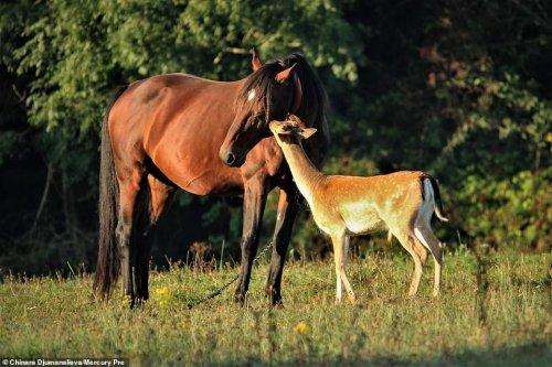 Трогательные фотографии дружбы осиротевшего олененка и усыновившей его семьи лошадей (7 фото)