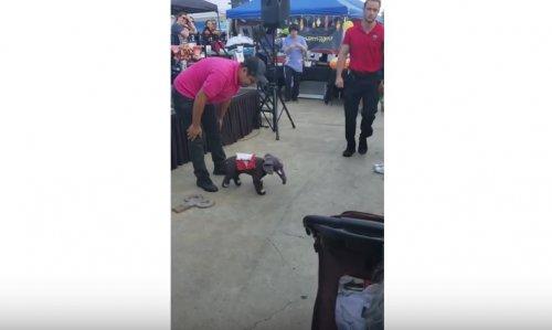 Это крошечный слоник или настоящая собака?