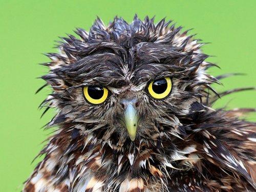 Мокрые совы, которых хочется просто взять и обогреть (18 фото)