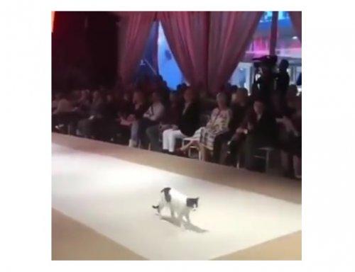В Турции бездомная кошка прошлась по подиуму во время модного показа, и всем это очень понравилось