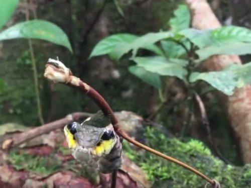 Удивительная гусеница, которая в минуты опасности превращается в змею