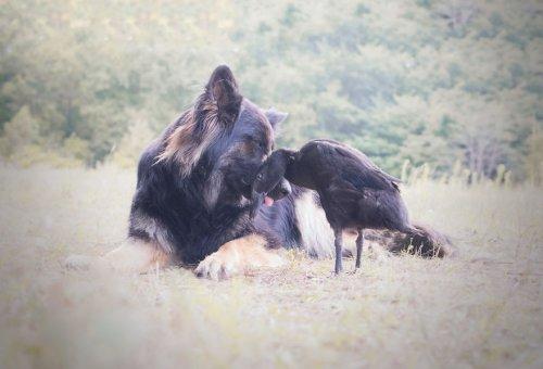 Неожиданная дружба между собакой и уткой в очаровательных фотографиях (11 фото)