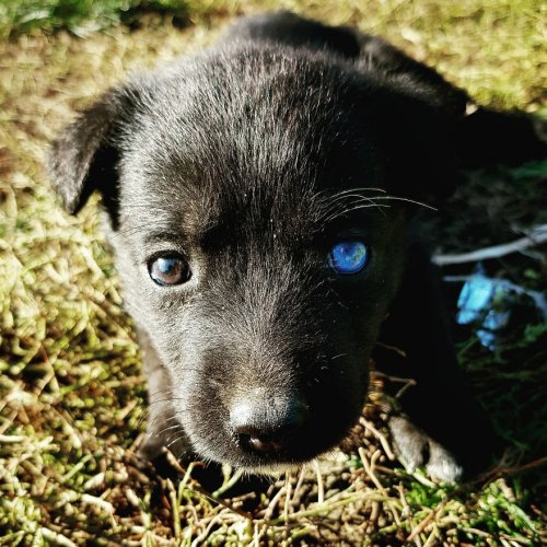 Очаровательный щенок Блу с глазами разного цвета (4 фото)