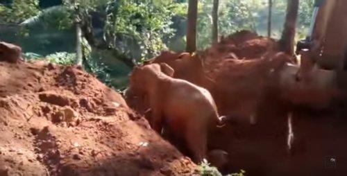Люди спасли слонёнка, попавшего в глубокую канаву. В благодарность глава семейства помахал им хоботом на прощание