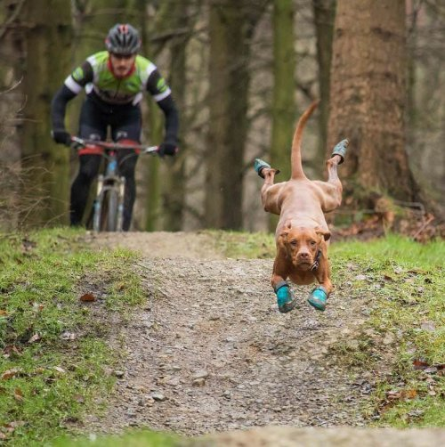 Обутый пёс, бегущий впереди велосипедиста, и фотожабы на него (21 фото)