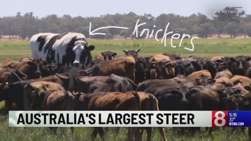 Познакомьтесь с Никерсом, гигантским быком, который слишком велик для убоя (2 фото + видео)