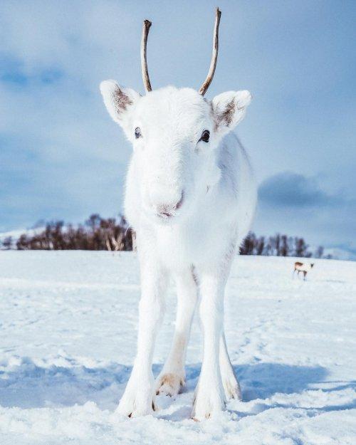 Норвежский трэвел-фотограф запечатлел детёныша редкого белого оленя (10 фото)