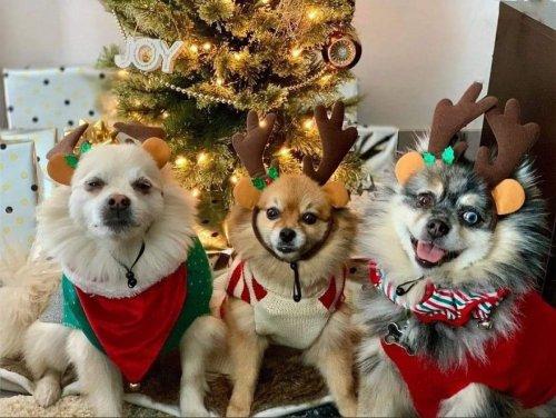 Очаровательные пёсики в рождественских свитерах (22 фото)