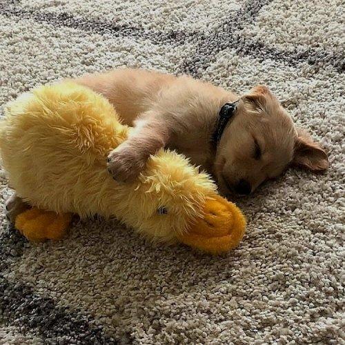 Мимишности пост: щенята со своими любимыми игрушками (10 фото)