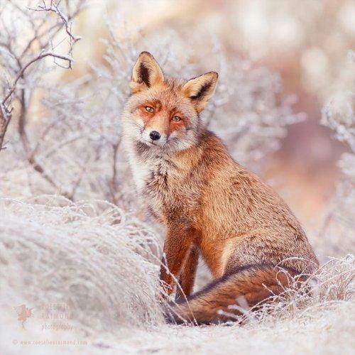 Рыжие лисицы в снегу в фотографиях Розелин Раймонд (9 фото)