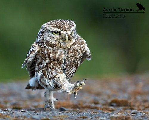 Забавные совы, смешно шагающие куда-то по своим делам (20 фото)