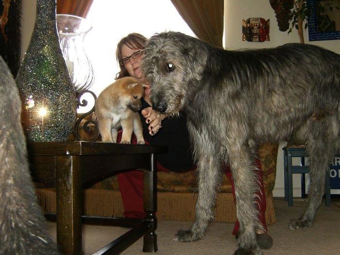 Фотографии с прелестными ирландскими волкодавами, после просмотра кото