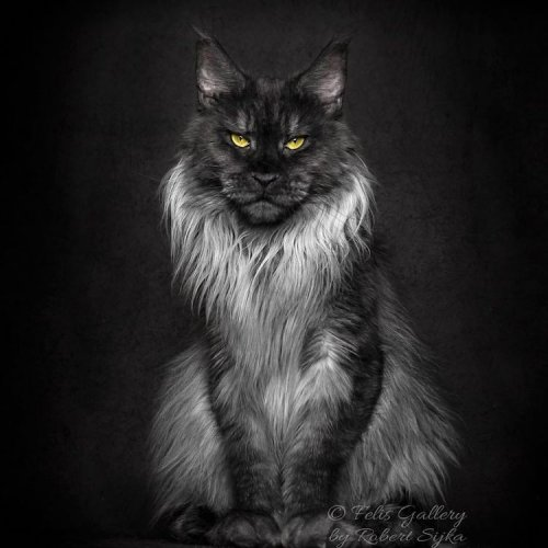 Величественные мейн-куны в фотопортретах Роберта Шики (27 фото)